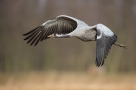 Żuraw, Common Crane (Grus grus) ... 2020r